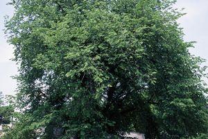 American Elm (Ulmus americana), Ulmaceae.