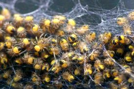 A cluster of black and yellow spiderlings