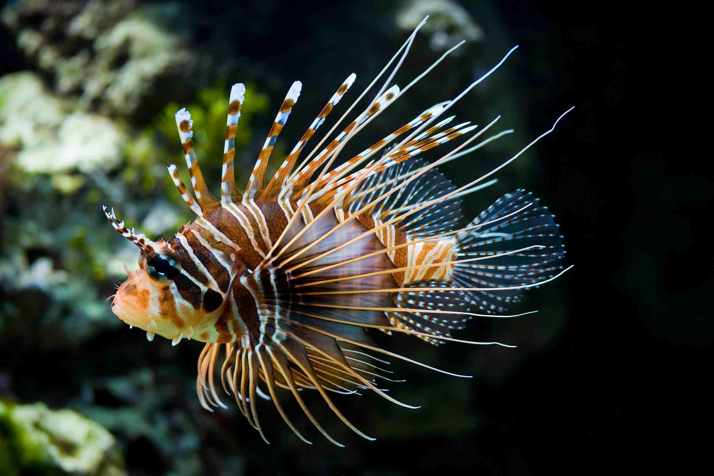 Firefish swimming underwater.