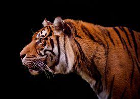 portrait of tiger on black background