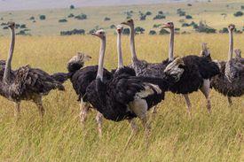 Masai Ostrich Flock
