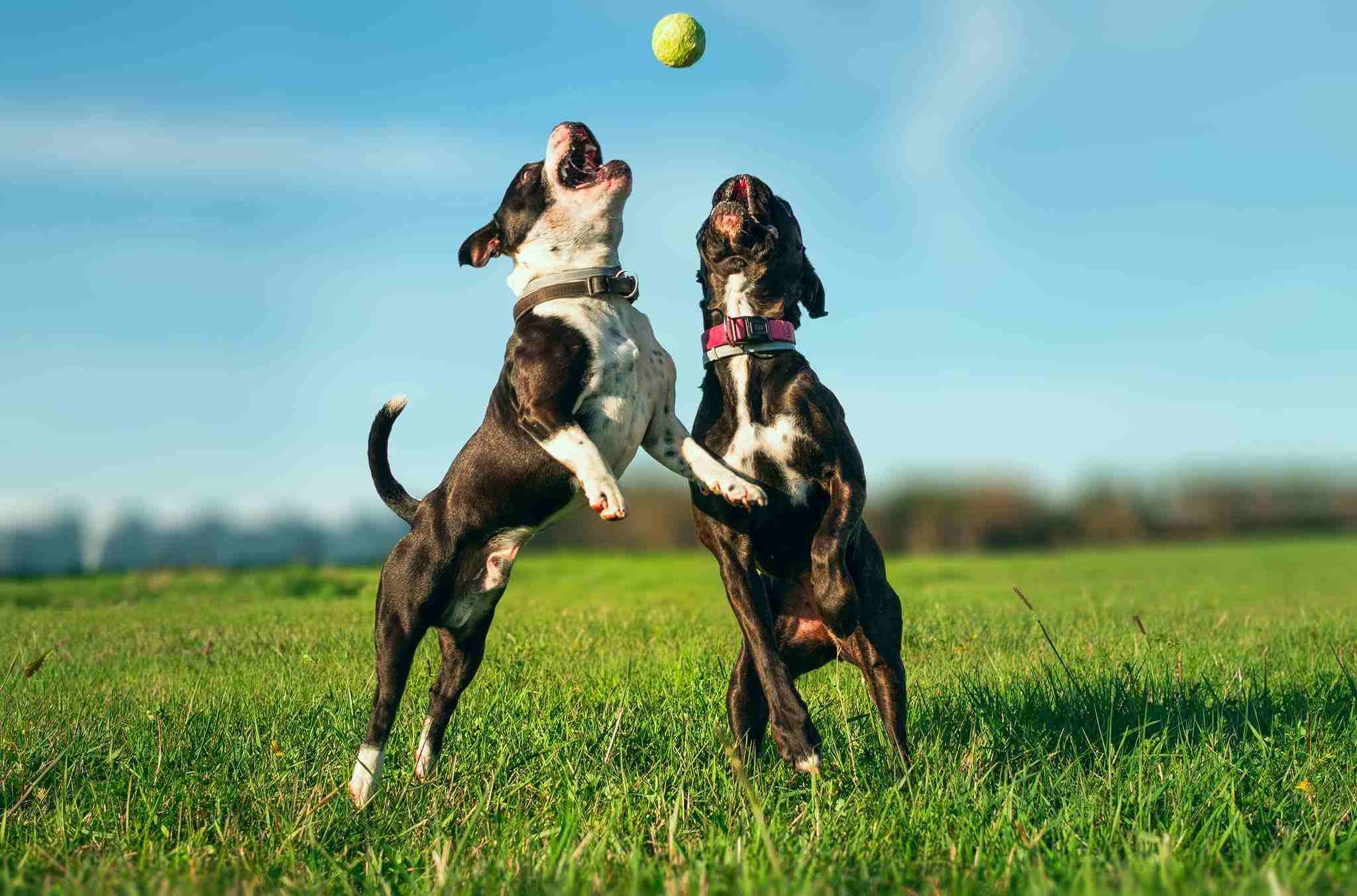 Dogs chasing a ball in the grass