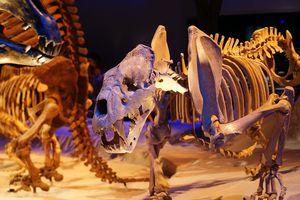 Xenosmilus skeleton on display.