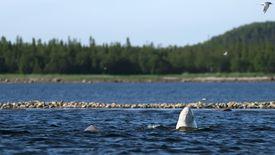 Delphinapterus leucas in wild nature