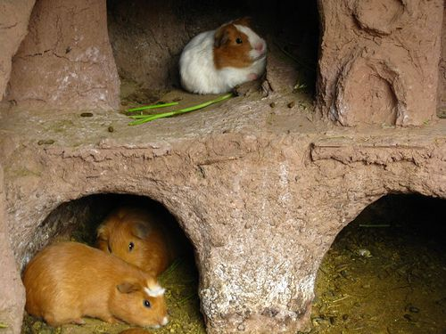 Guinea Pigs (Cavia porcellus) in Hutches in Peru