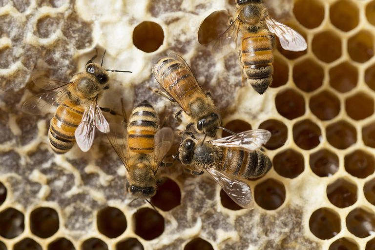 Honeybees from above on their hive