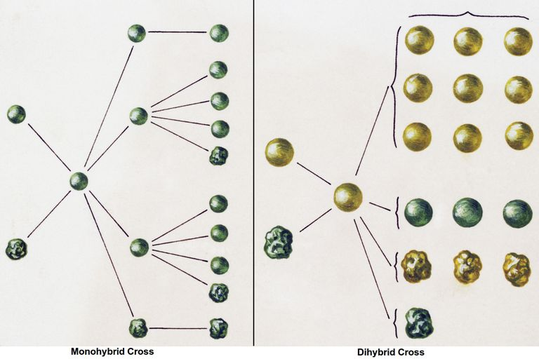 Monohybrid and Dihybrid Crosses