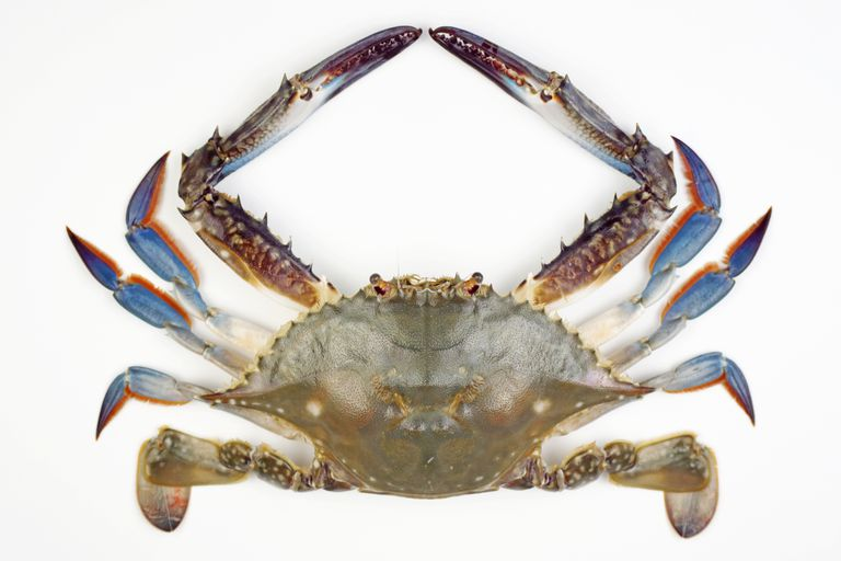 Blue Crab Facts
