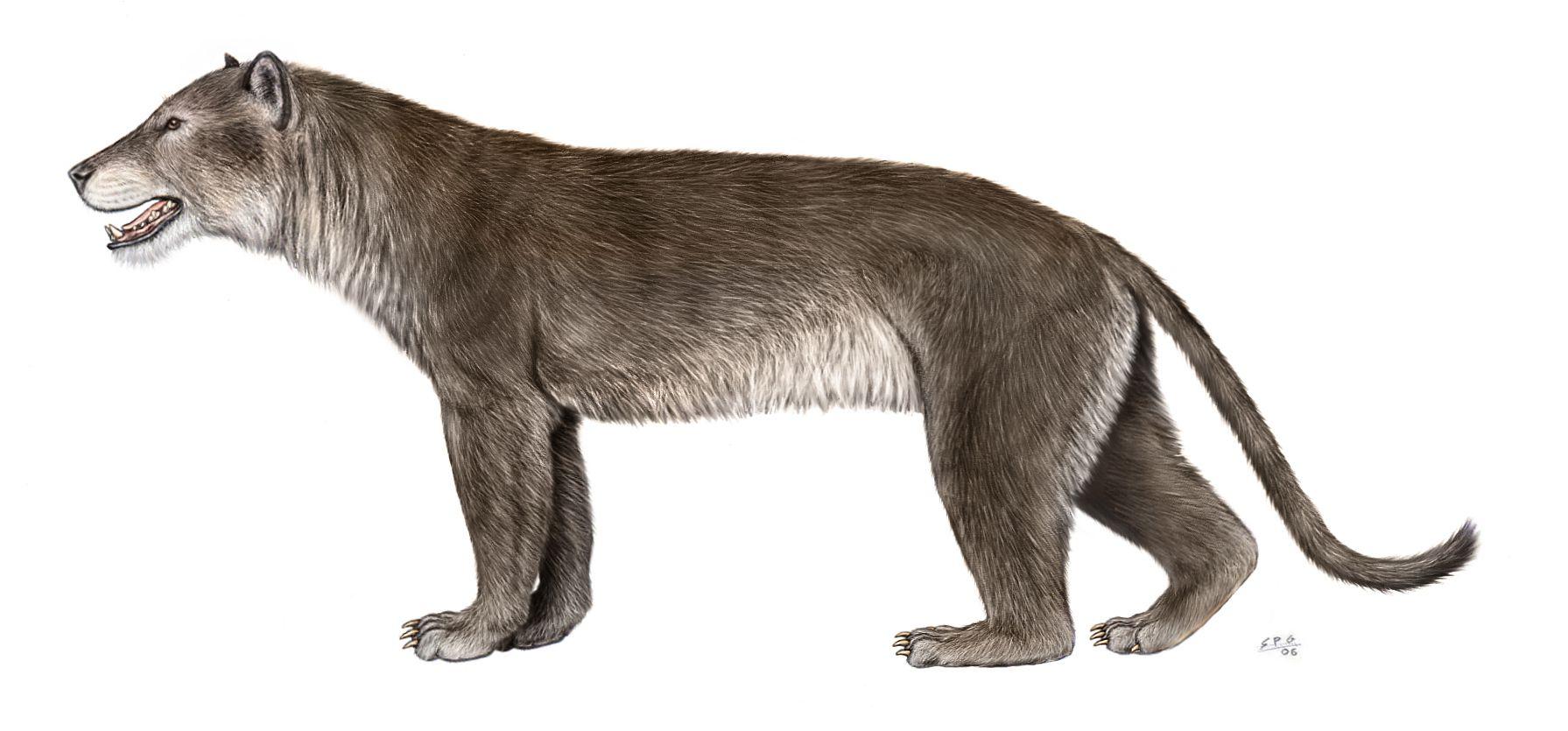Amphicyon, the Bear Dog