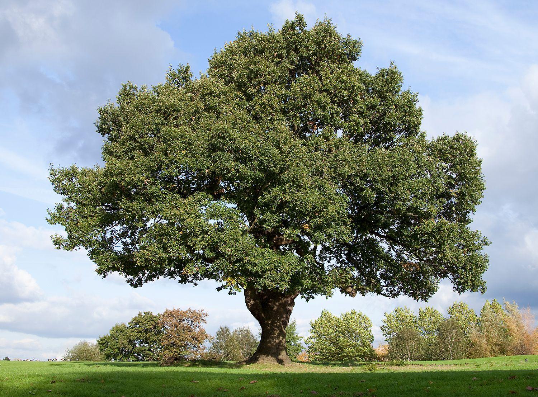 фото дерева типа дуб пальто