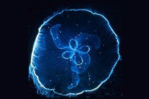 Moon Jellyfish