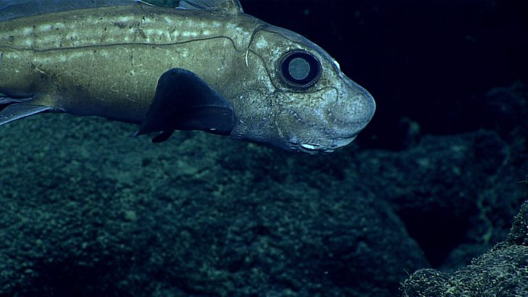 Chimaera seen during a dive around the Mariana Trench