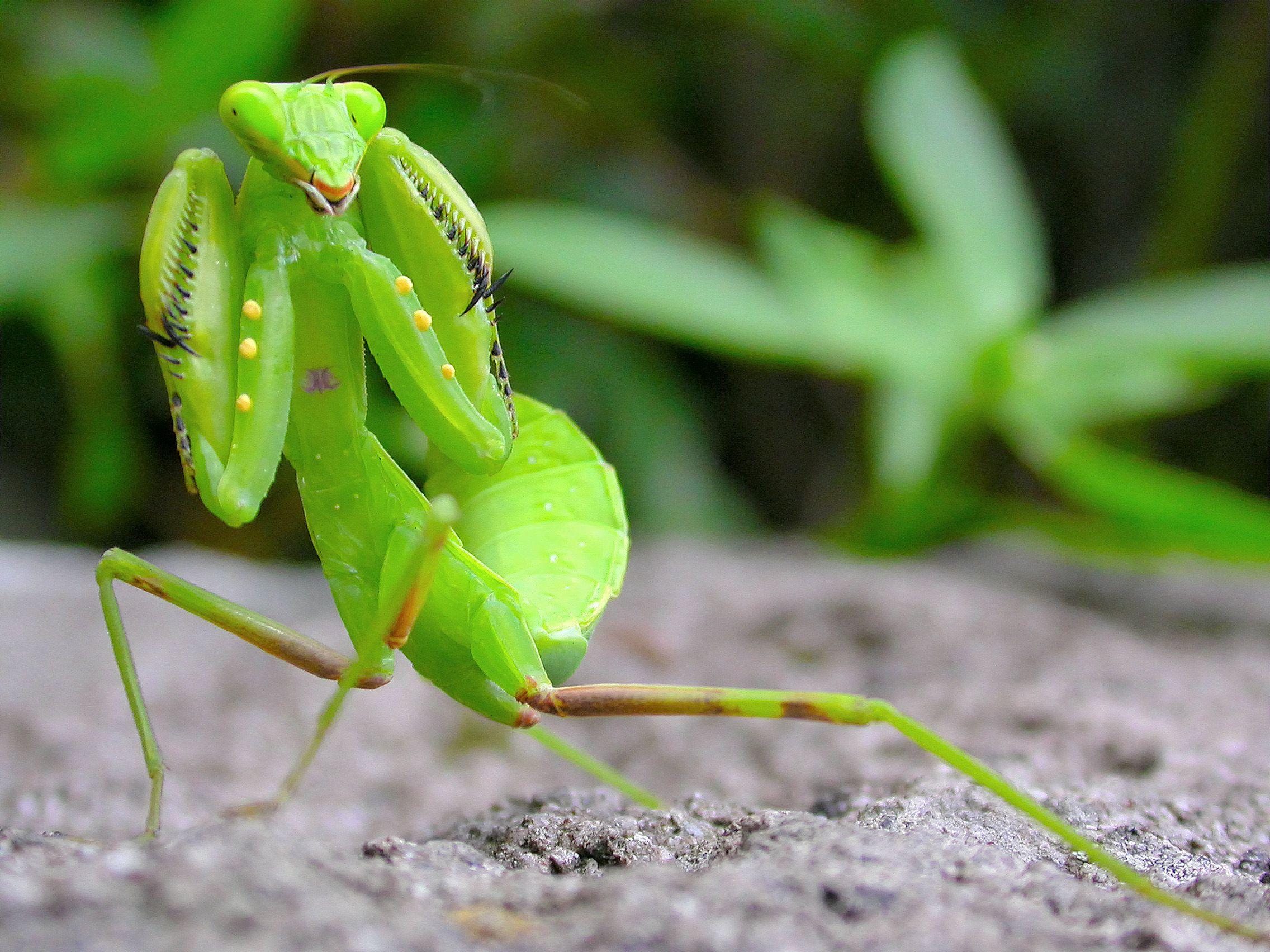 10 Fascinating Praying Mantis Facts