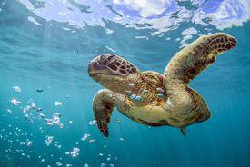 Marine turtles photographed on the beautiful Ningaloo Reef of western Australia.