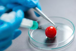 Cropped Scientist Doing Experiment With Cherry Tomato In Laboratory