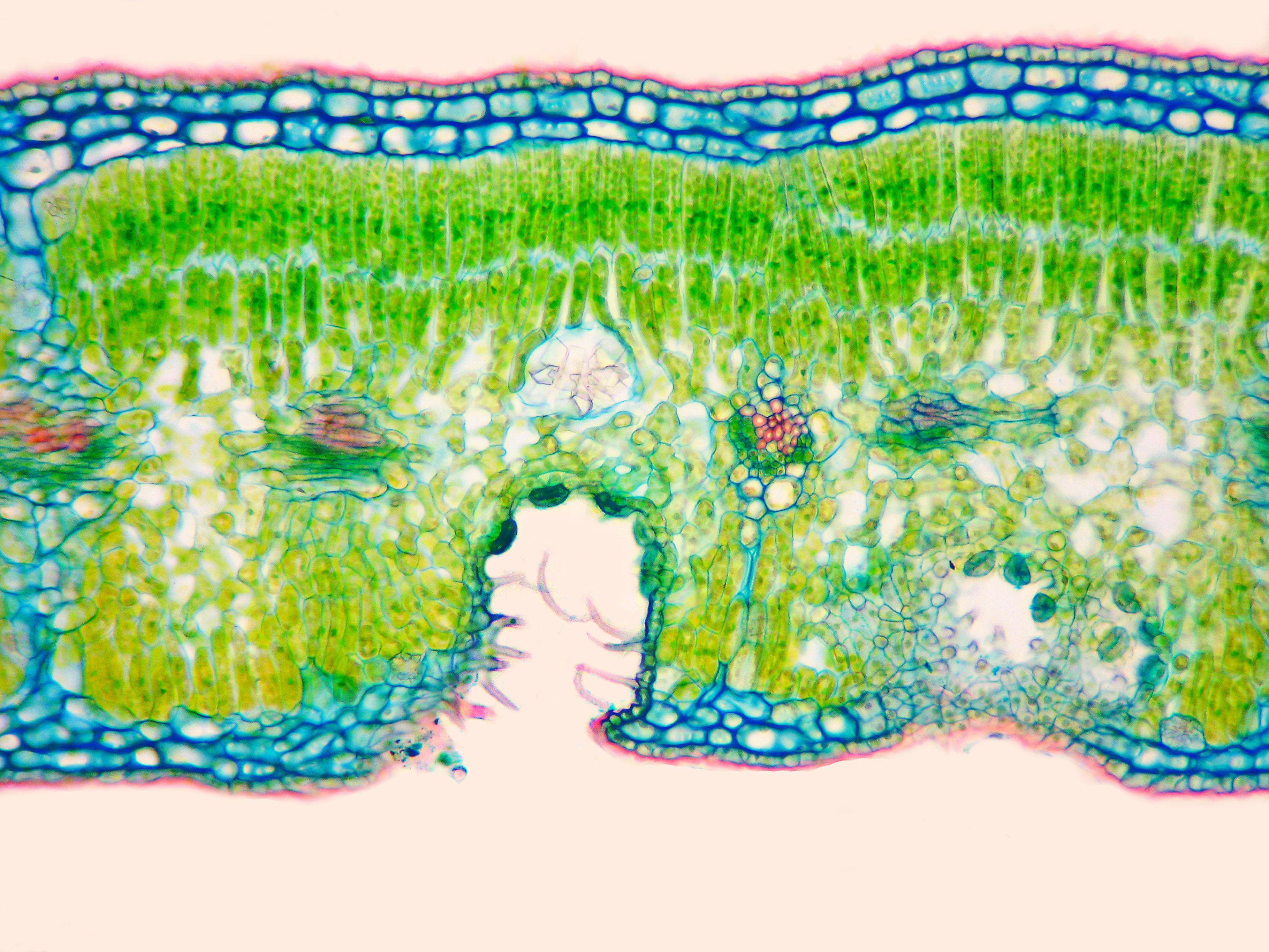 Light micrograph of Foveolate stomata of oleander x400