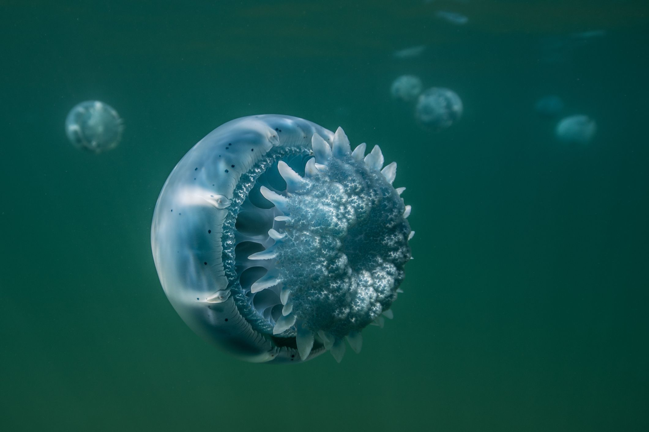 Cannonball jellyfish from Baja California