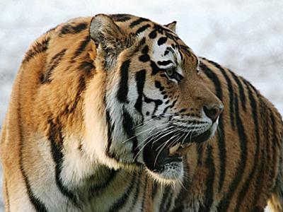 Siberian Tiger - Panthera tigris altaica