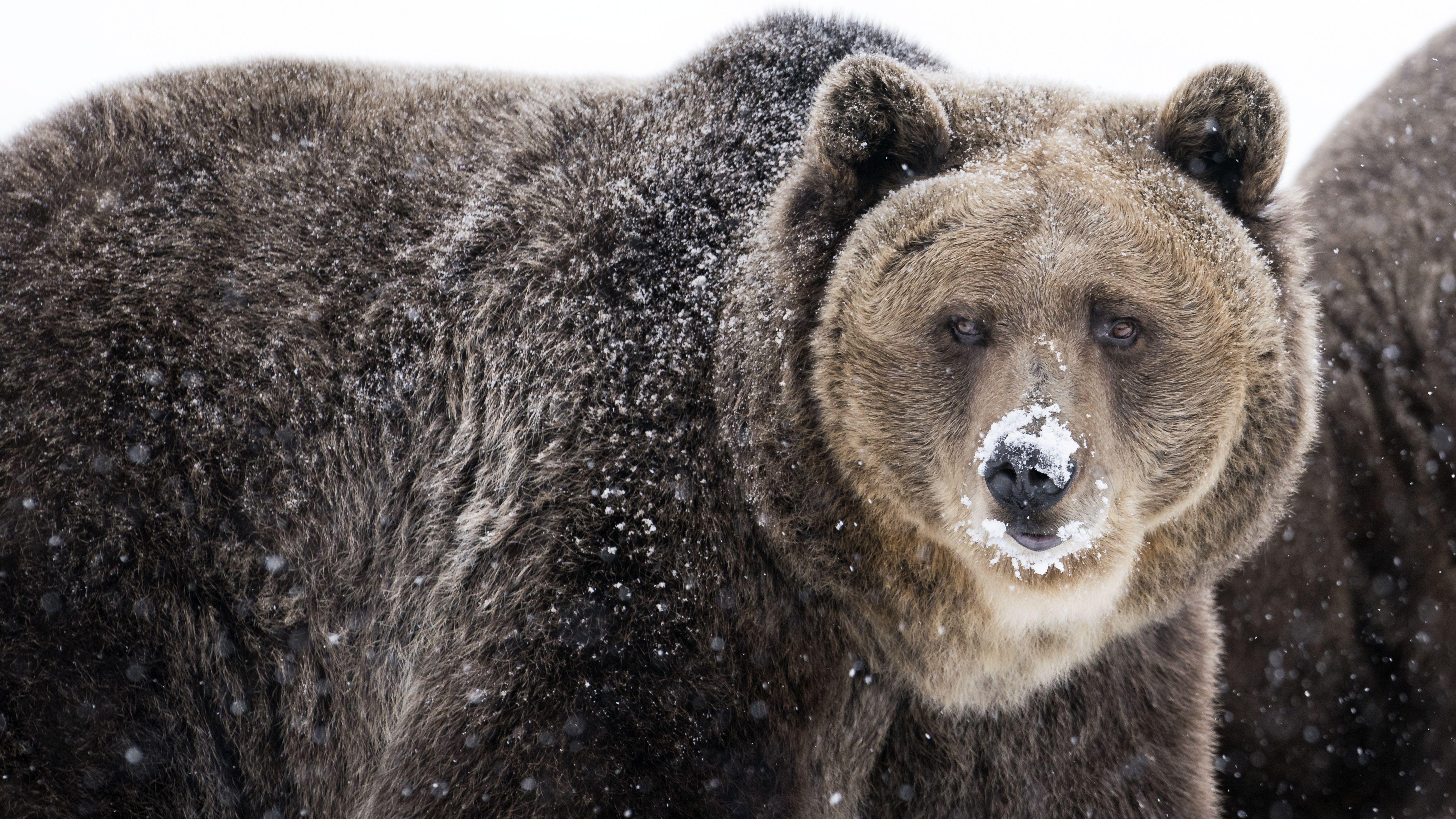 Grizzly Bear Facts Ursus Arctos Horribilis