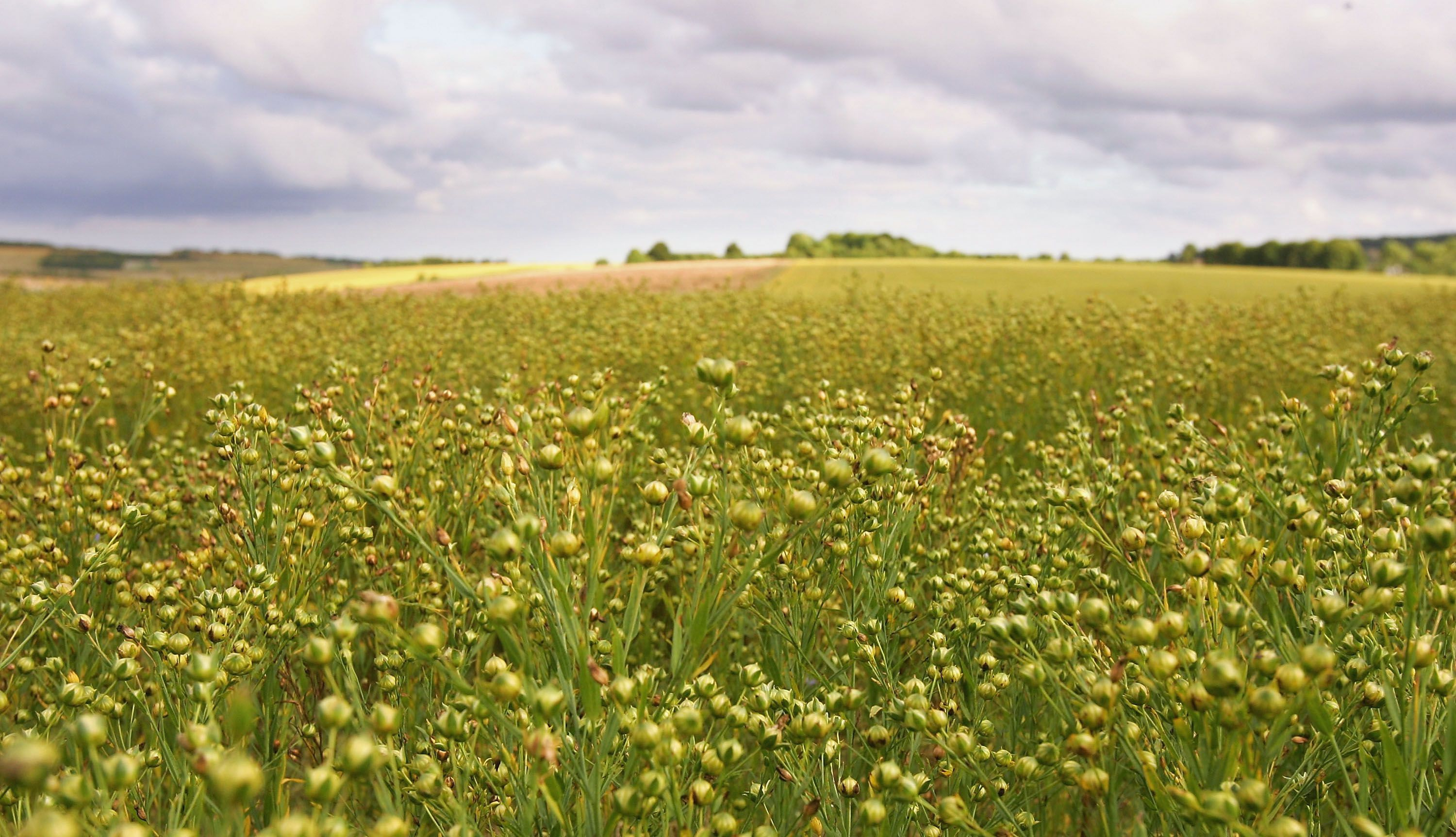 Field of Linseed Flax South of Salisbury, England
