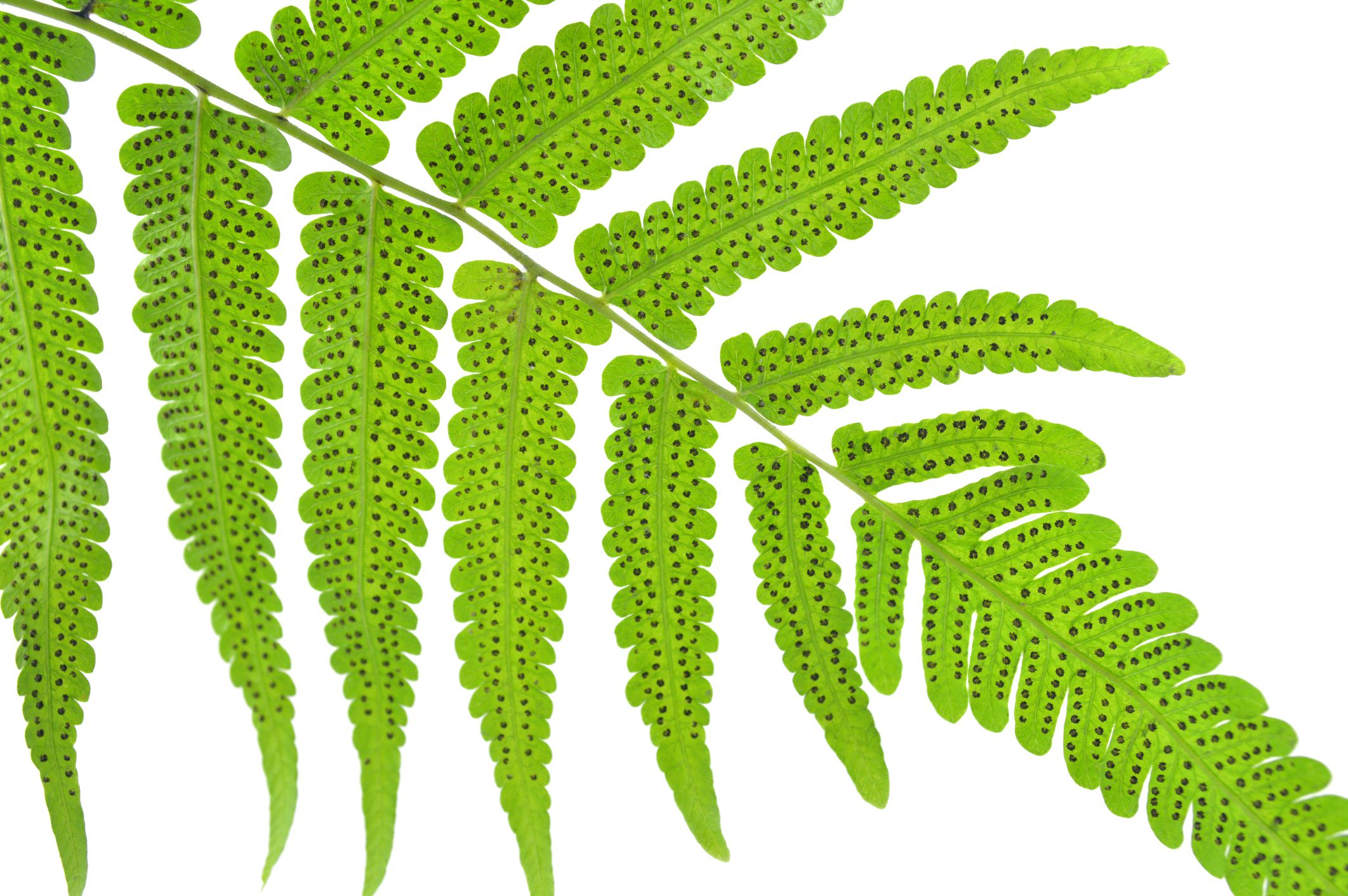 Fern Reproduction And Life Cycle