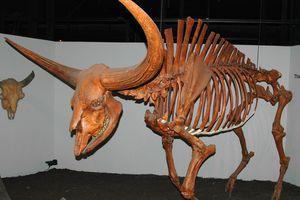 Bison latifrons fossil buffalo (Pleistocene; North America) 1