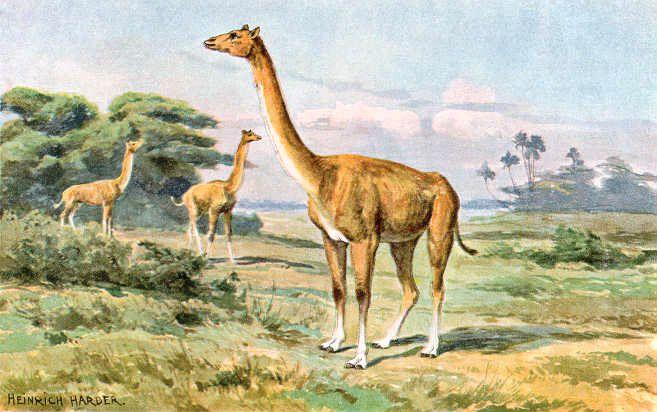 aepycamelus, a prehistoric camel