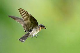 A swallow in flight