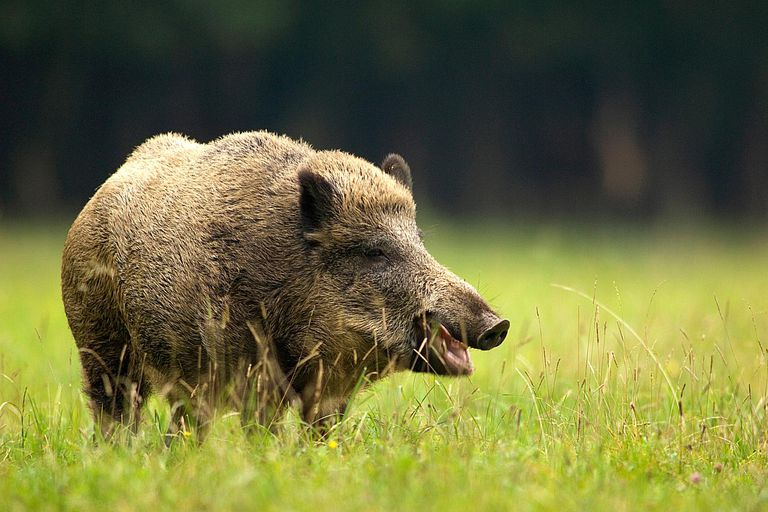 hog-like animal in the grass