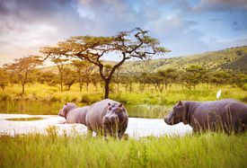 Hippos in Akagera National Park