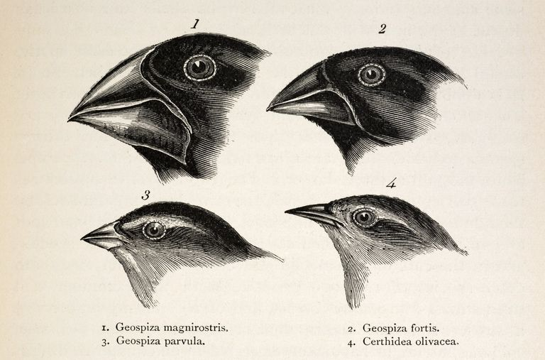 Illustration of Darwin's Galapagos Finches