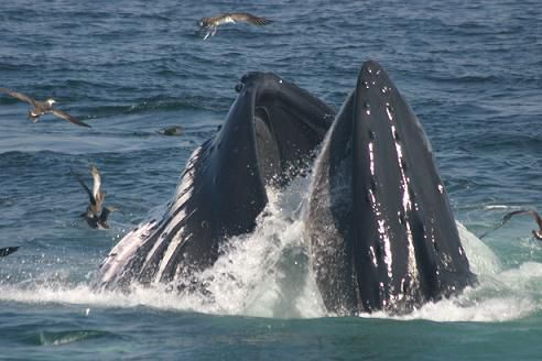 Humpback Whale Lunge-Feeding / Blue Ocean Society for Marine Conservation