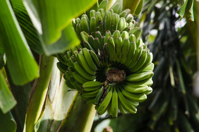 Low Angle View Of Unripe Bananas.