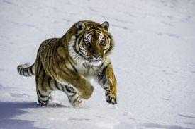 Captive Siberian Tiger, Panthera tigris altaica, Bozeman, Montana, USA