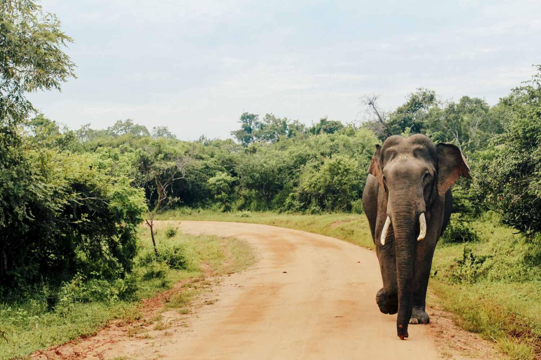 Asian Elephant at Yala National Park