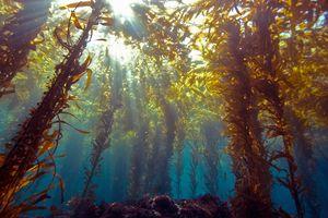 Sunlight through kelp forest