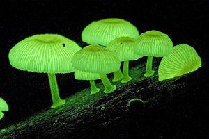 Luminous Fungi