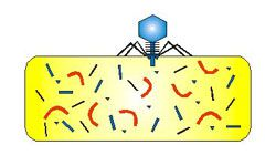 Bacteriophage Infecting a Bacterial Cell - 3