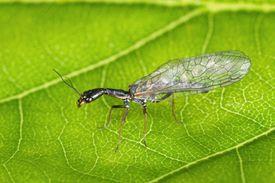 Snakefly.