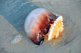 Cannonball jellyfish washed ashore in South Carolina