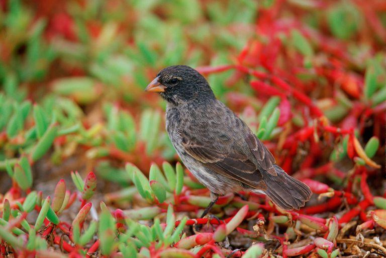 Darwin Finch Bird, Galapagos Isles