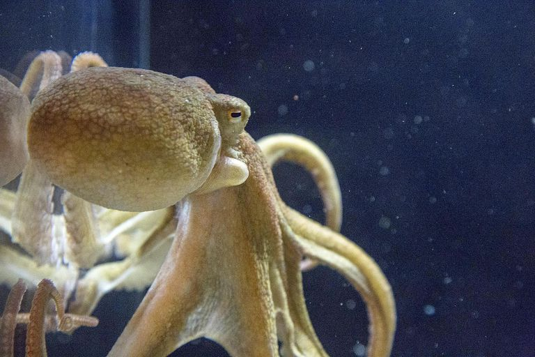 Octopus in aquarium against the glass