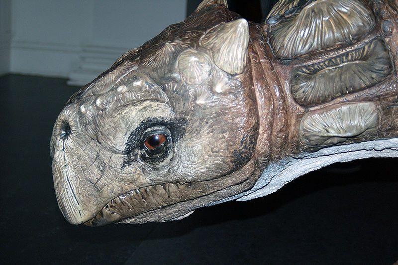 Model of a <i>Minmi</i> at a museum in Australia