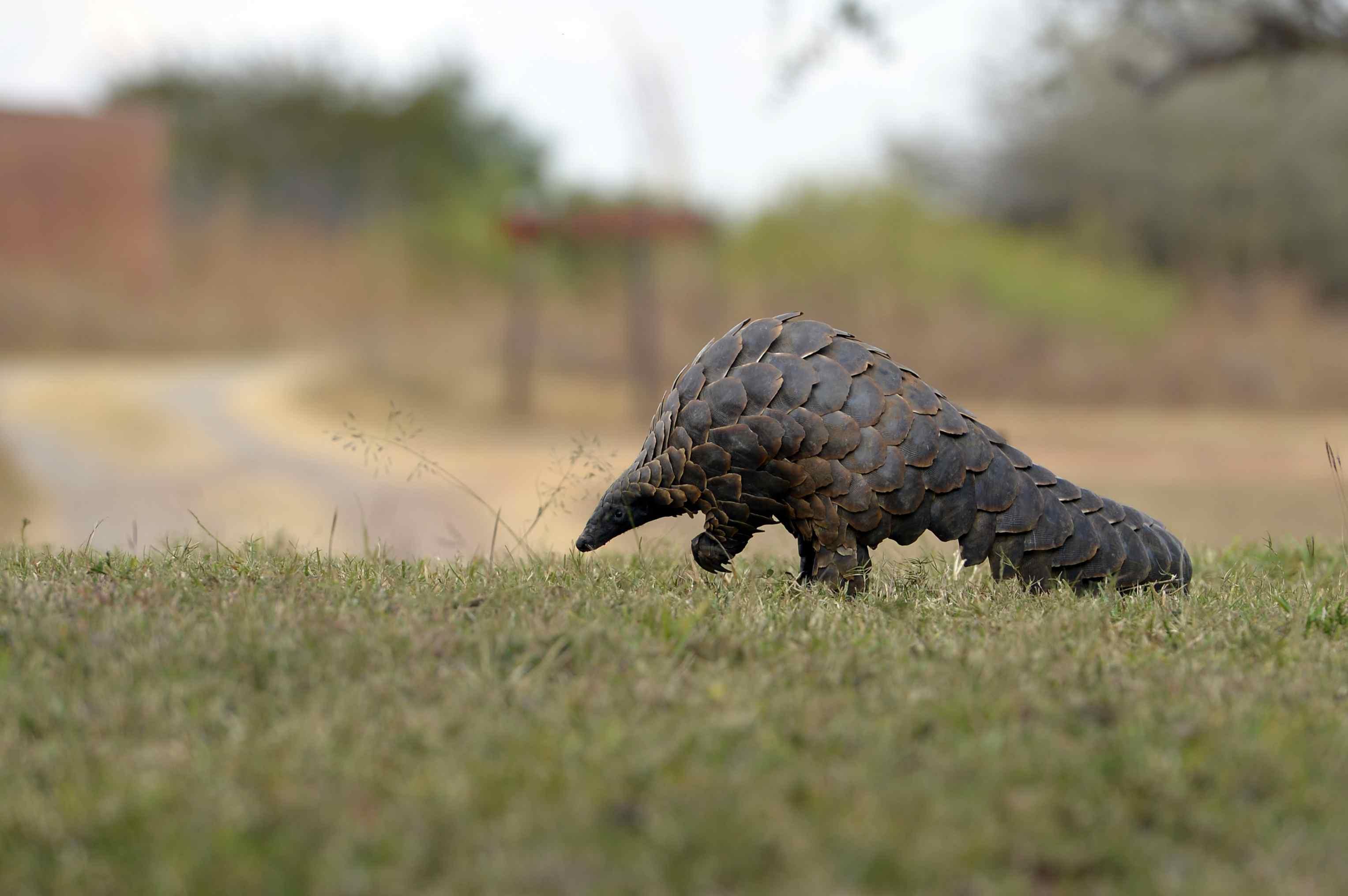 Pangolin in the grass walking near a road.