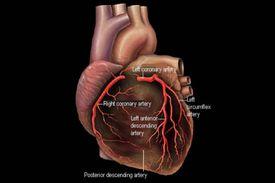 The heart and coronary arteries diagram