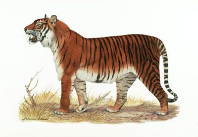 An illustration of the Bali tiger