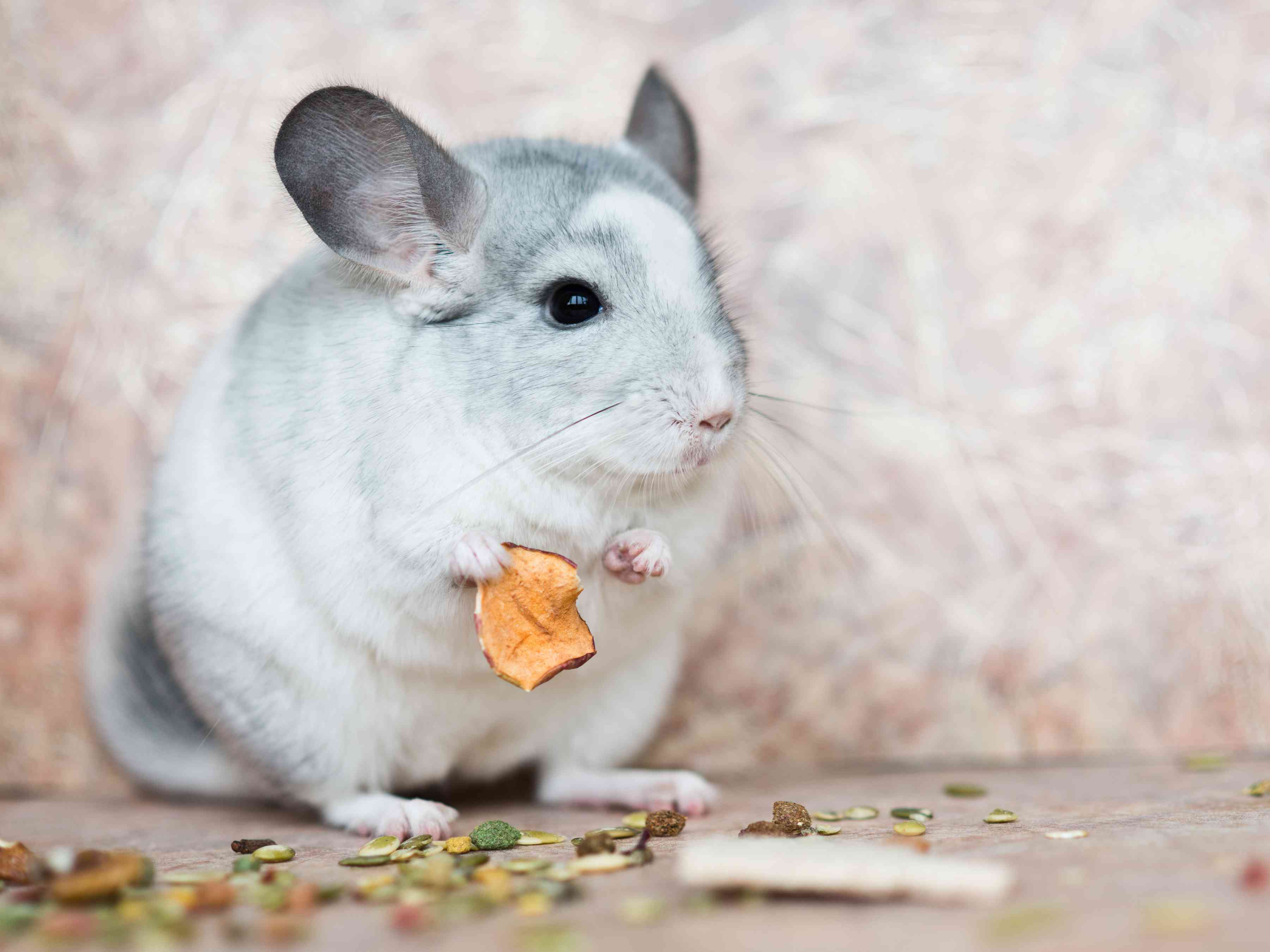domestic chinchilla holding food with arms