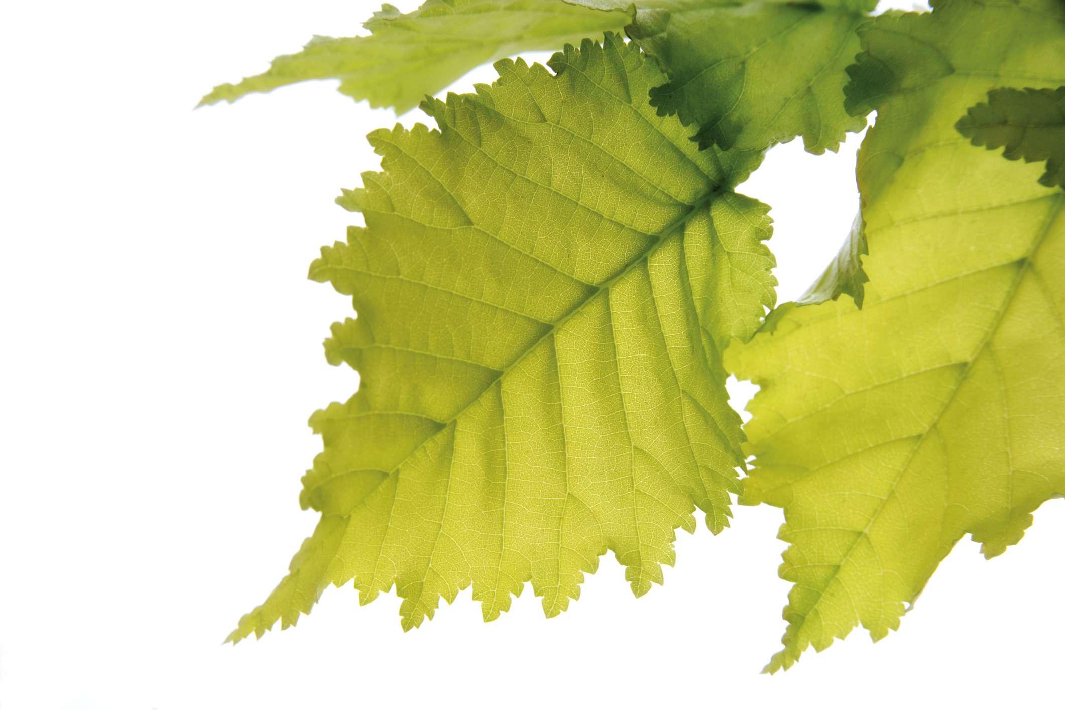 Elm leaves (Ulmus Americana) against white background, close-up