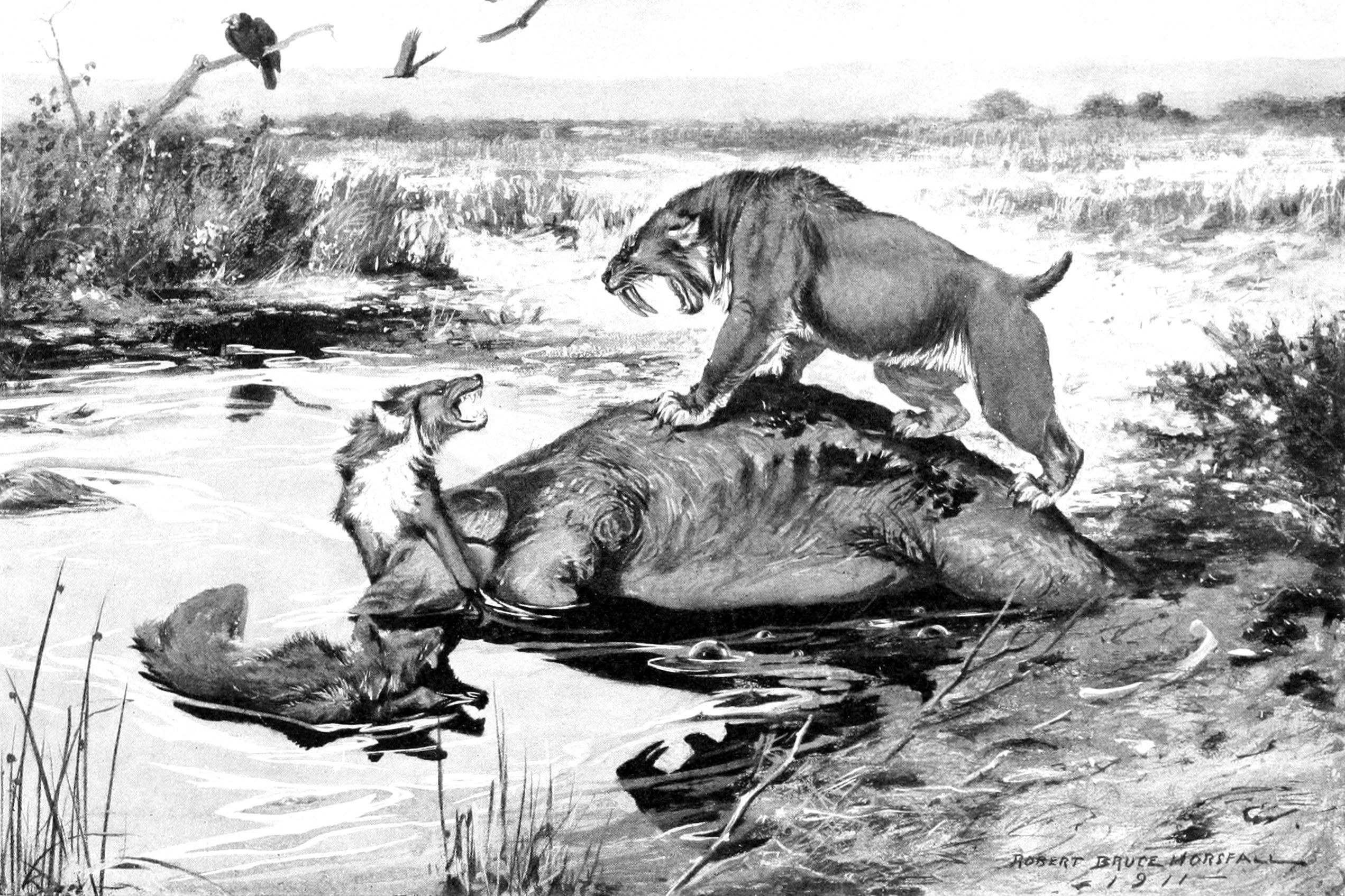 Sabre toothed tiger faces off with a direwolf over a meal