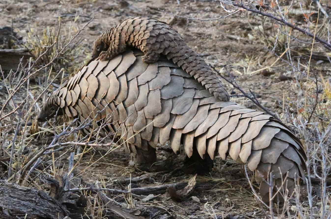 A female pangolin carries her young on her back.